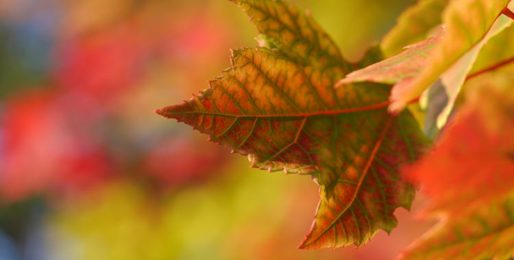 fall-leaves-smoky-mountains-tennessee-fall-sundance-vacations-travel-blog