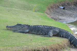 Sundance Vacations Hilton Head Gator of golf course